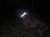 Pies z opaską lokalizacyjną