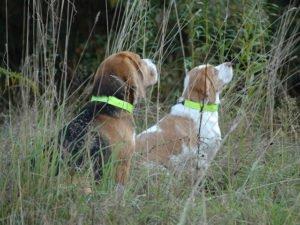 Psy ze świecącą obrożą