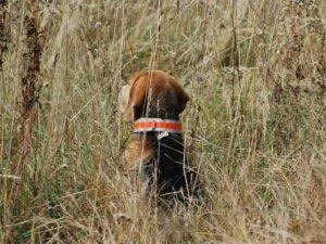 Pies z pomarańczową opaską odblaskową