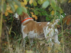 Pies z opaską odblaskową