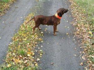 Pies na drodze z jaskrawą opaską