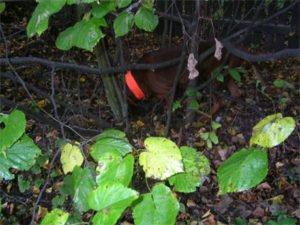 Pies w krzakach z pomarańczową opaską