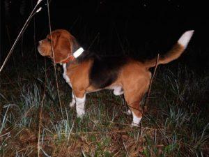 Pies z adresówką odblaskową