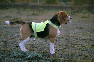 Pies w kamizelce odblaskowej