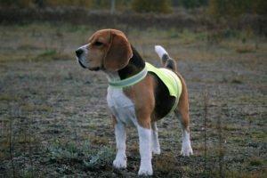 Pies w żółtej kamizelce